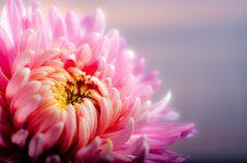 Free Flower, Pink, Petal, Flora Stock Image - 95835601