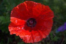 Free Flower, Wildflower, Poppy, Poppy Family Royalty Free Stock Photos - 95839608