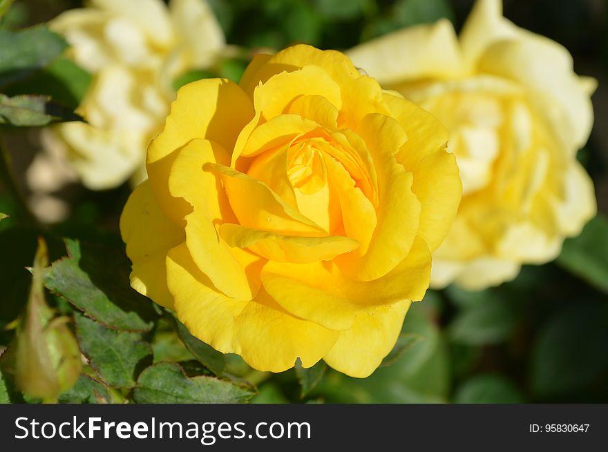 Flower, Rose, Rose Family, Yellow