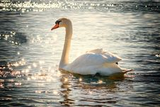 Free Swan, Water Bird, Bird, Ducks Geese And Swans Royalty Free Stock Photos - 95840038