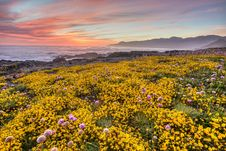 Free Close-up Of Yellow Flowers Growing In Field At Sunset Royalty Free Stock Photography - 95868257