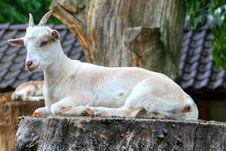 Free Goats, Goat, Fauna, Cow Goat Family Royalty Free Stock Image - 95886896