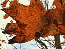 Free Leaf, Maple Leaf, Autumn, Deciduous Stock Images - 95887224