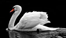 Free Swan, Water Bird, Bird, Ducks Geese And Swans Stock Photography - 95891942