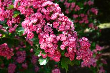 Free Flower, Plant, Pink, Flowering Plant Royalty Free Stock Photos - 95891958