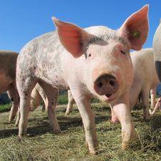 Free Domestic Pig, Pig, Pig Like Mammal, Mammal Stock Image - 95894341