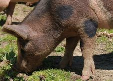 Free Pig, Pig Like Mammal, Mammal, Fauna Stock Photography - 95894582