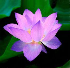 Free Flower, Lotus, Sacred Lotus, Plant Royalty Free Stock Images - 95898409