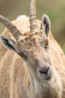 Free Horn, Wildlife, Barbary Sheep, Fauna Royalty Free Stock Image - 95899116