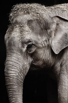 Free Elephant, Elephants And Mammoths, Black And White, Wildlife Stock Images - 95899184
