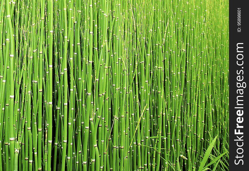 Green, Grass, Vegetation, Grass Family