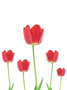 Free Red Tulip Stock Photography - 9590042