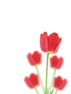 Free Red Tulips Stock Photos - 9590053