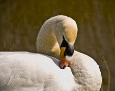 Swan Cleaning His Feathers Royalty Free Stock Photography