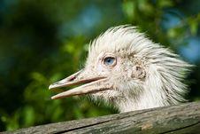 Free Ostrich Portrait Stock Photo - 9592150