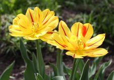 Free Tulips Stock Photos - 9592393