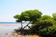Free Honduran Mangrove Trees Royalty Free Stock Images - 9593189