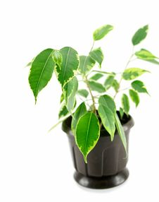 Free A Rubber Plant In A Pot Isolated Stock Photos - 9593593