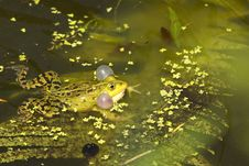 Free Green Frog Calling In The Water Royalty Free Stock Image - 9593596