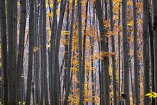 Free Autumn Forest Royalty Free Stock Photos - 9593978