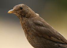 Free Female Blackbird Stock Image - 9595341