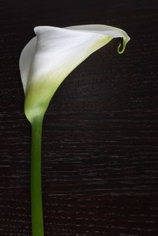 Free Calla Flower On Dark Woods Royalty Free Stock Image - 9595806