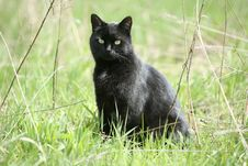 Free Black Cat Staring Royalty Free Stock Image - 9597206