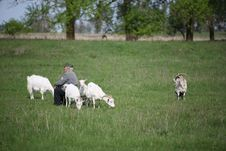 Free The Goat Are Out Grazing Royalty Free Stock Photography - 9597457