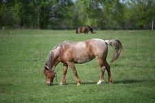 Free Grazing Horse Royalty Free Stock Photo - 9597475