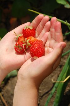 Strawberries In Hands Stock Photos