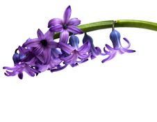 Free Violet Flowers Isolated Stock Images - 9598594