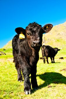 Free Calf In Field Royalty Free Stock Photo - 9598845