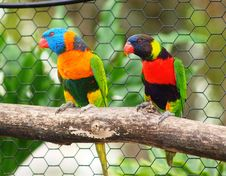 Free Lorikeet 1 Royalty Free Stock Photography - 9598937