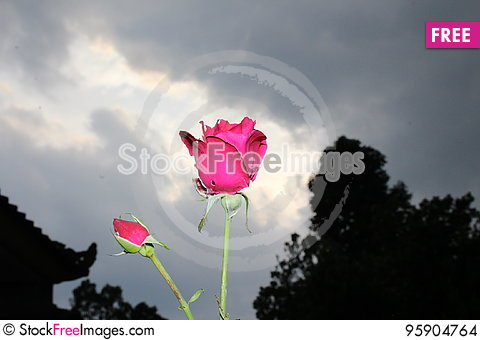 Free Red Rose Flower Stock Images - 95904764