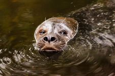 Free Mammal, Fauna, Harbor Seal, Snout Royalty Free Stock Photography - 95902897