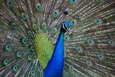 Free Peafowl, Feather, Galliformes, Close Up Royalty Free Stock Image - 95903916