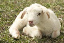 Free Goats, Goat, Cow Goat Family, Livestock Royalty Free Stock Photo - 95904735