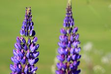 Free Plant, Flower, Flowering Plant, Lupin Stock Images - 95905024