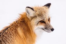 Free Fox, Wildlife, Red Fox, Mammal Stock Images - 95906024