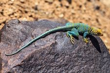 Free Reptile, Lizard, Scaled Reptile, Lacertidae Royalty Free Stock Photos - 95907558