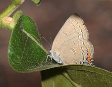 Free HAIRSTREAK, EDWARD S &x28;Satyrium Edwardsii&x29; &x28;6-15-2017&x29; Weymouth Woods Sandhills Preserve, Richmond Co, Nc Stock Images - 95931774