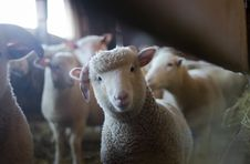 Free Lamb In Paddock Royalty Free Stock Image - 95931816