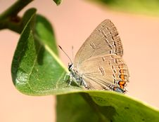 Free HAIRSTREAK, EDWARD S &x28;Satyrium Edwardsii&x29; &x28;6-15-2017&x29; Weymouth Woods Sandhills Preserve, Richmond Co, Nc Stock Image - 95931841