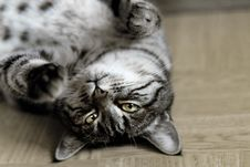 Free Gray And White Tabby Cat Royalty Free Stock Images - 95931859