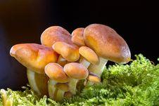 Free Mushroom, Fungus, Edible Mushroom, Agaricomycetes Stock Photos - 95956193