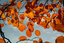 Free Leaf, Branch, Autumn, Deciduous Royalty Free Stock Photography - 95956287