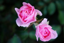 Free Flower, Rose, Rose Family, Pink Stock Images - 95956324