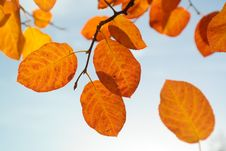 Free Leaf, Autumn, Deciduous, Peruvian Groundcherry Royalty Free Stock Photo - 95956325