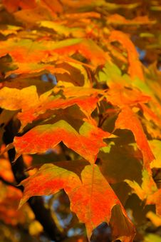 Free Leaf, Autumn, Maple Leaf, Orange Royalty Free Stock Photos - 95956358