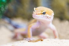 Free Reptile, Lizard, Gecko, Scaled Reptile Royalty Free Stock Photo - 95957425